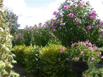 Althéa, hibiscus de Syrie, Ketmie des jardins